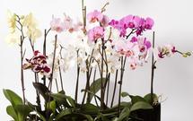 Kwiaty doniczkowe w twoim domu. Jak podlewać storczyki? [PIELĘGNACJA STORCZYKÓW]