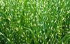 Miskant: trawa ozdobna do ogrodu