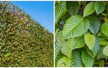 Żywopłot z grabu - sadzenie, pielęgnacja, cięcie. Grab pospolity: piękny żywopłot w ogrodzie