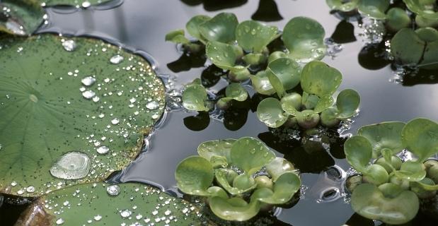 Jak sadzić rośliny wodne
