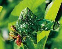 Zwalczanie mszyc - jak walczyć ze szkodnikami roślin