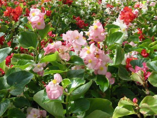 Kwiaty ogrodowe. Popularne gatunki roślin jednorocznych, z których robi się rozsady